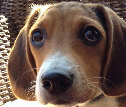 不同地区的比格犬价格怎么样? 挑选好的它需注意什么?