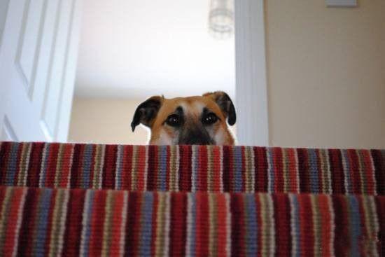 狗狗呼吸困难或者很大声