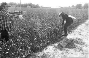 蒜薹滞销农民损失惨重 农大教师发起团购已超3000斤